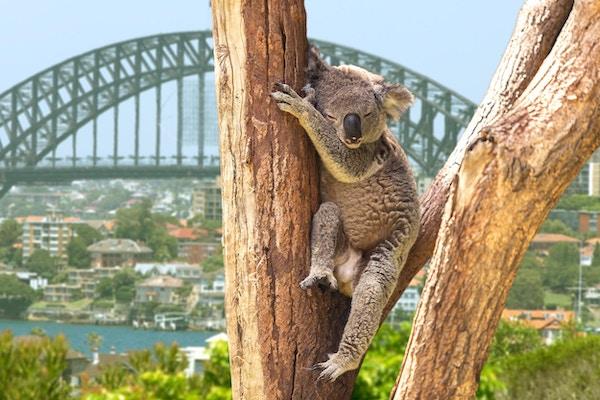 Søt koala som sitter i et tre i Sydney, Australia