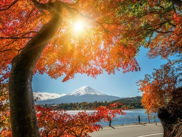 Fargerik høst i Fuji-fjellet, Japan - Kawaguchiko-sjøen er et av de beste stedene i Japan å glede seg over Mount Fuji-landskapet med lønneblader som endrer farge og gir bilde av de bladene som rammer inn Fuji-fjellet.