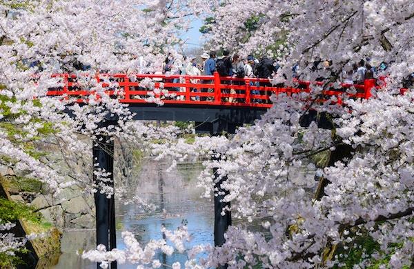 Kirsebær blomstrer (Sakura) ved Hirosaki Castle Park i Hirosaki by, Aomori prefektur, Japan.