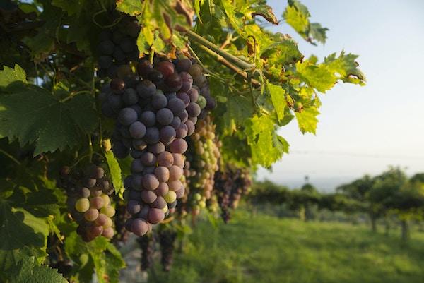 Corvina Veronese druer på en vinstokk i en vingård i Italia belyst av varmt sollys