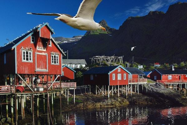 Tradisjonell fiskevær med rødmalte hus, Lofoten, Norge. En måke flyr over.