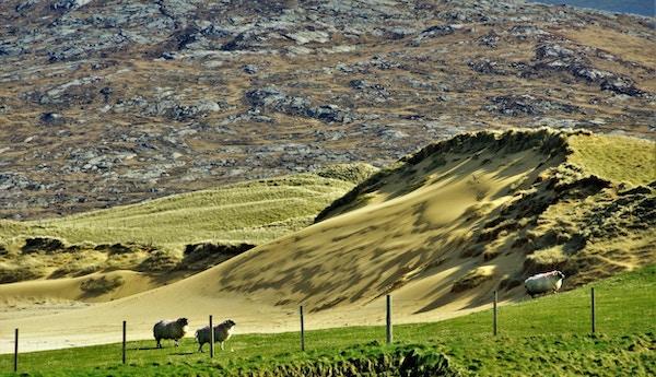 Bølgende landskap med tre gressende sauer på Isle of Harris.