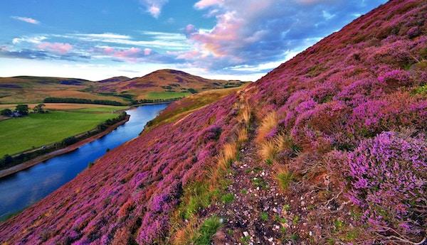 Flott landskap med elv og rosa blomstrende lyng på Hebridene.