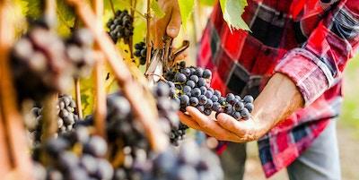 Druer fra vingård i Italia.