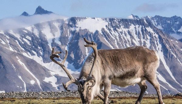 Reinsdyr på beite med snødekte fjell i bakgrunnen