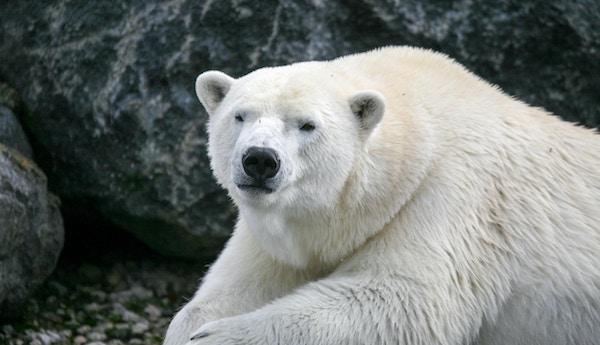 Isbjørn nærbilde.