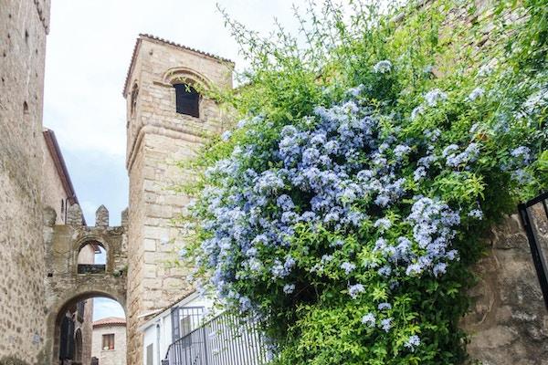 Blå klatreplante vokser mot veggen i et smug i den middelalderske gamlebyen, Trujillo, Spania