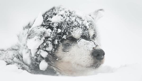 Hund der kun ansiktet synes under snøen på Svalbard