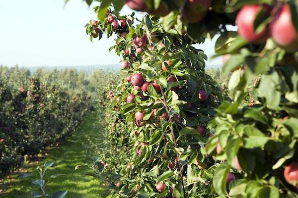 Mange epletrær med frukt står tett i tett nedover på en gård