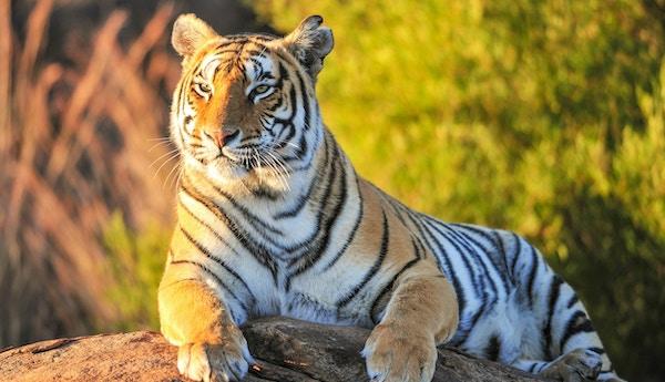 Den majestetiske, indiske tigeren