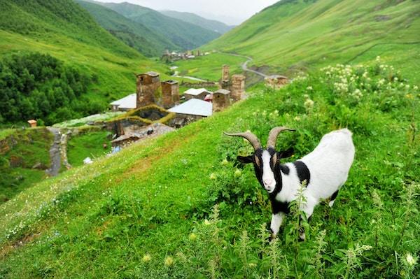 En geit og gamle svanstårn i landsbyen Ushguli i den øvre Svaneti-regionen i Georgia