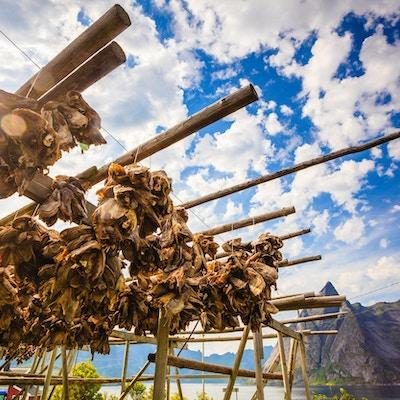 Tørrfisk tørker på stativer, Lofoten. Industrielt fiske i Norge.