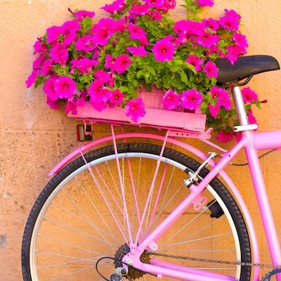 Ganske rosa petunias på baksiden av en rosa sykkel mot en oransje vegg. Kopieringsplass tilgjengelig.
