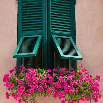 """Lyserosa petunia vokser på en vinduskarm på et hjem i Monterosso på Cinque Terre, Italia"""