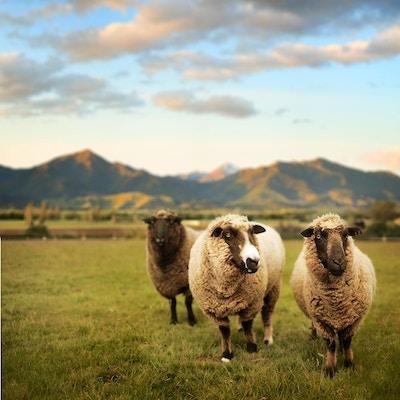Sauer finnes overalt på New Zealand