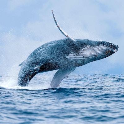 Store muligheter for å se hval