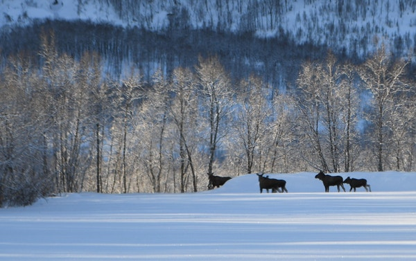 Elg i vinterlandskap.