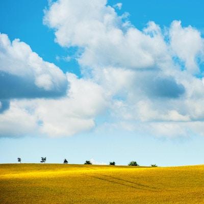 Gul rapsåker i bølgende landskap med trær i horisonten