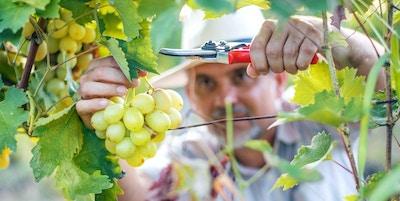 Vinhøstarbeider som skjærer hvite druer fra vinstokker