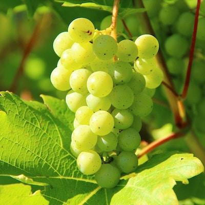 Grønne druer med svarte prikker