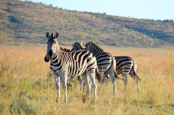 Sebraer på savannen i Nord-Sør-Afrika