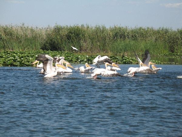 Pelikaner i vann