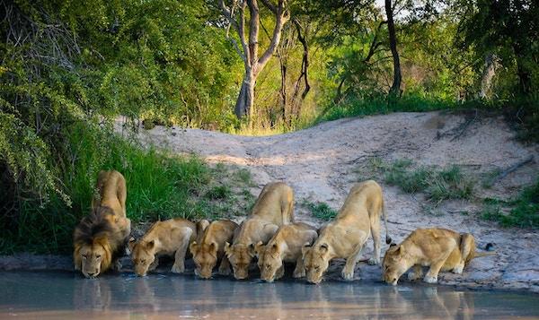 En løveflokk som drikker ved et vannhull