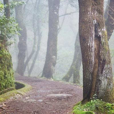 Levada går gjennom laurbærskogen nær Ribeiro Frio på tåketåke. Populær turistaktivitet på Madeira, Portugal