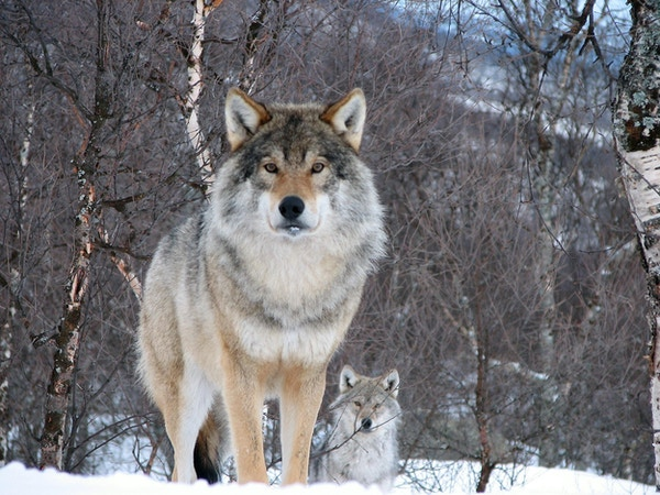 Ulver i vinteromgivelser.