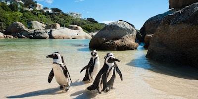 Cape town pingviner