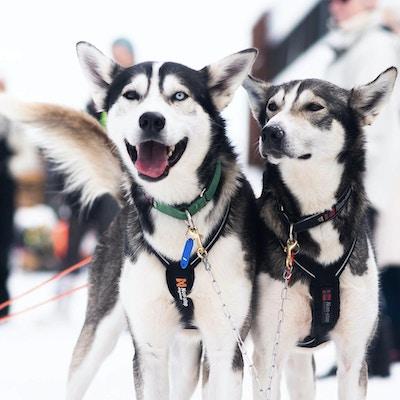 To hunder med sele på står klare i snøen til å trekke slede
