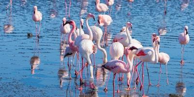 Gruppe av rosa flamingoer på sjøen ved Walvis Bay, den atlantiske kysten av Namibia, Africa.