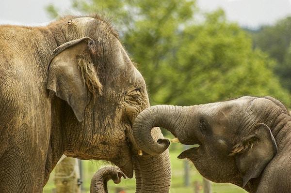 Voksen elefant og babyelefant