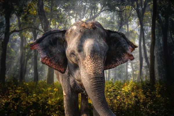 Elefant i Chitwan. I junglen i Nepal
