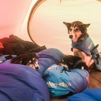 Tre hunder koser seg i telt.