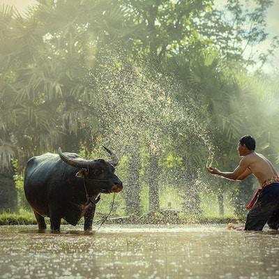 En bonde og hans okse, Thailand