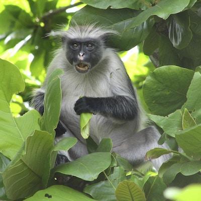 Ape som koser seg med et måltid