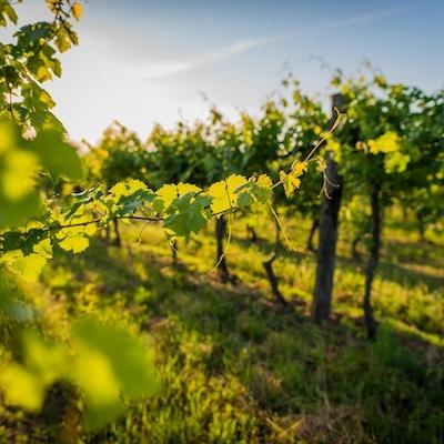 Uskarpe blad i forgrunnen, lange rekker med vinranker bakover i fint morgenlys.