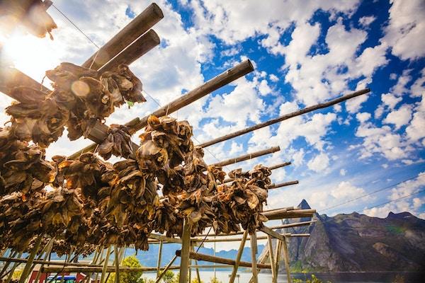 Torsk tørrfisk tørker på stativer, Lofoten. Industrielt fiske i Norge.
