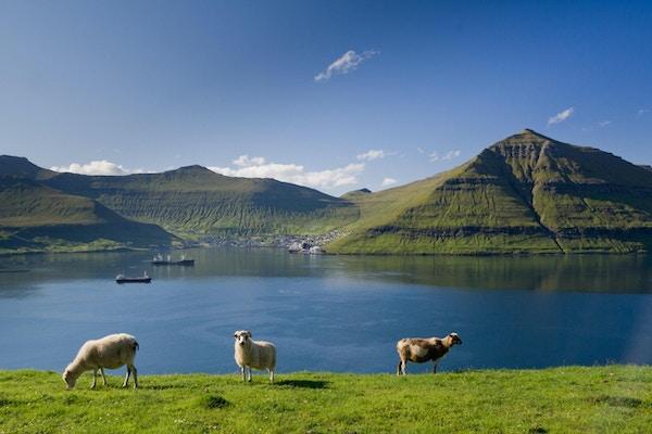 Beite sauer, Færøyene