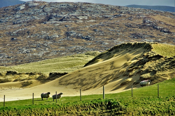 Bølgende landskap med tre gressende sauer på Isle of Harris