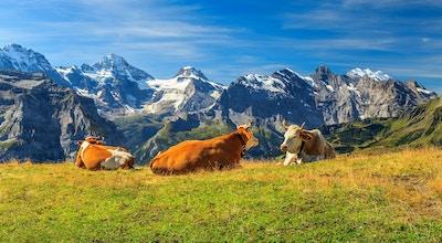 Kyr som beiter på en eng og høye snødekte fjell i bakgrunn, Mannlichen, Bernese Oberland, Sveits, Europa