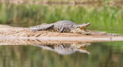 Nilen krokodille som hviler på en sandbanke, Zambesi-elven, Botswana