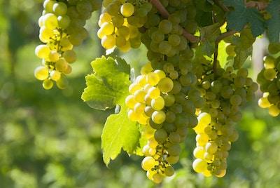 Vindruer i det berømte østerrikske vindyrkningsområdet Wachau (Spitz), Niederösterreich