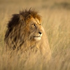 Stor hannløve i høyt gress og varmt kveldslys - Masai Mara, Kenya