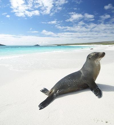 Sjøløve som soler seg på en hvit strand med turkis av i Gardner Bay, Espanola Island, Galapagos