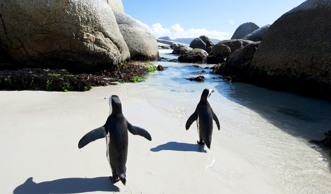 Pingviner ved Boulders Beach, Cape Town