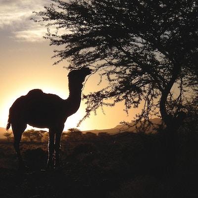 Marokko orken oline i soloppgang