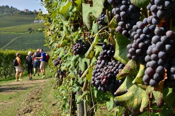 Barolo vin vandring 2