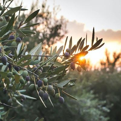 Oliventrær ved solnedgang, Albania.